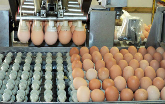 150220-egg-packaging-golden-fresh-egg-farm-fontana-ca-W540 100dpi